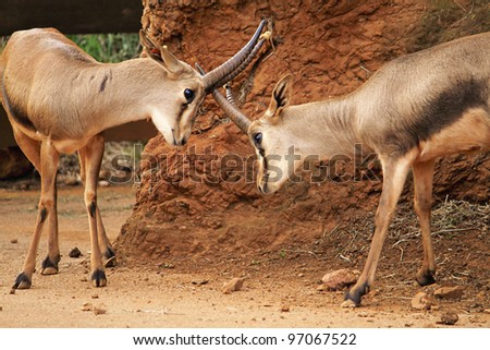 An image of two Impalas fighting with horns