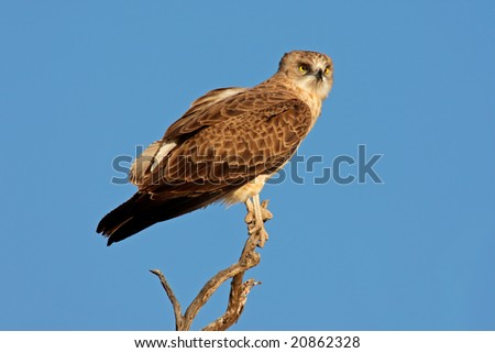 An immature black-breasted snake eagle (Circaetus gallicus) perched on a branch, Kalahari, South Africa - stock photo