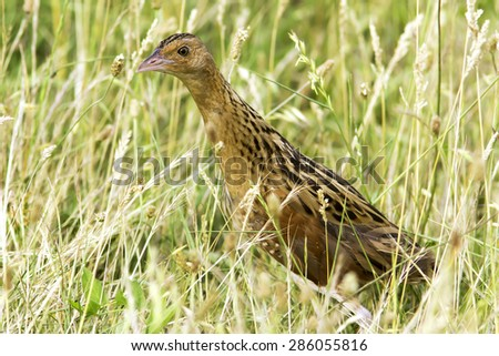 an immature of corncrake or landrail in natural habitat / Crex crex  - stock photo