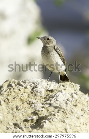 an immature of Northern Wheatear in natural habitat  Oenanthe oenanthe - stock photo