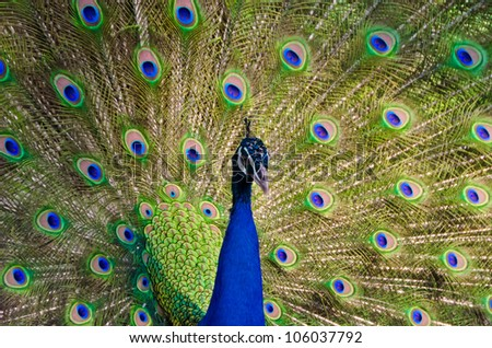 An Indian peafowl is spreading it's tail-feathers to the female - stock photo