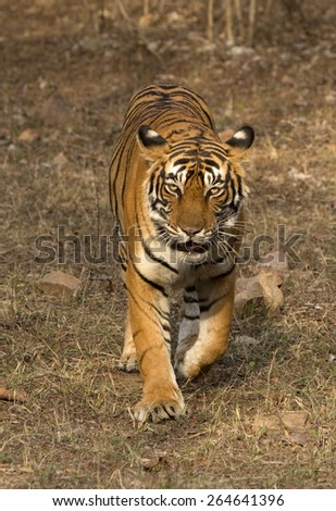 An Indian tiger in the wild - stock photo