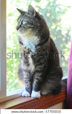 An indoor Maine Coon kitty cat sitting on the window cell yearning to be outside. - stock photo