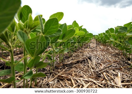An innovative method of growing grain wheat, soybeans, corn. Hand men on the background field. Humus in the field with plants. A man checks the soil fertility and humus. Soil protection from sunlight. - stock photo