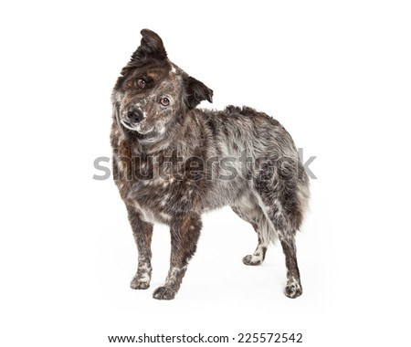 An inquisitive Australian Shepherd Mix Breed Dog standing at an angle while looking into the camera. - stock photo
