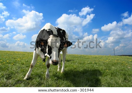 An inquisitive cow in  a scenic field - stock photo