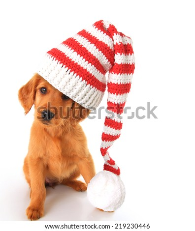 An Irish setter and golden retriever mixed breed puppy wearing a Christmas Santa hat.  - stock photo