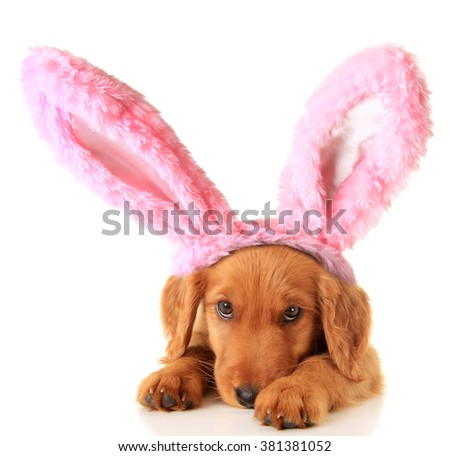 An Irish Setter puppy wearing Easter bunny ears. - stock photo