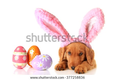An Irish Setter puppy wearing Easter bunny ears, surrounded by Easter eggs.  - stock photo
