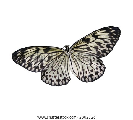 An isolated black and white butterfly