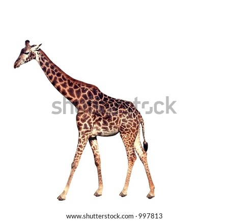 An isolated giraffe