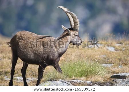 Sheep Horns Drawing Ibex Deer Long Horn Sheep