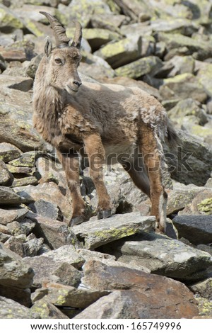 An isolated ibex long horn sheep on the brown rocks background