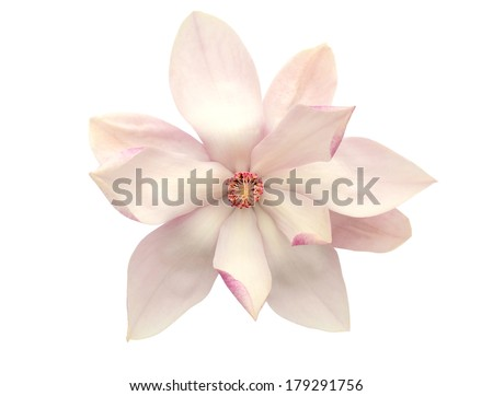 An isolated magnolia flower - stock photo