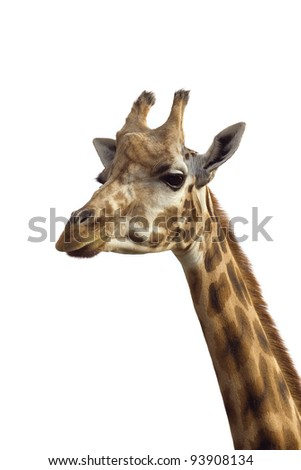 An isolated photo of a giraffe's neck and head - stock photo