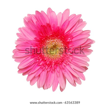 An isolated pink gerbera - stock photo