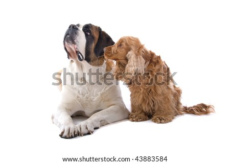 An isolated view of a large St. Bernard and a small Cocker Spaniel dog, side-by-side on a white background