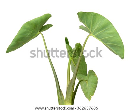 Giant Elephant Ear Stock Images, Royalty-Free Images ...