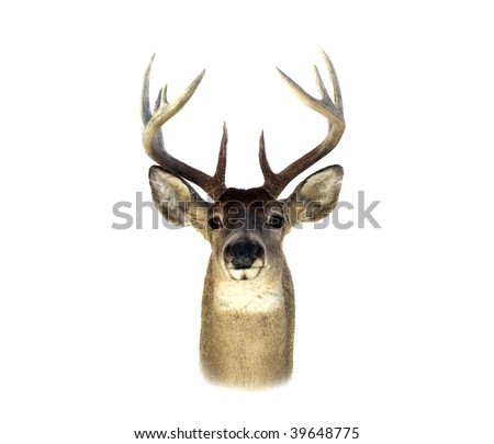 An isolation of a mounted Whitetailed deer head - stock photo