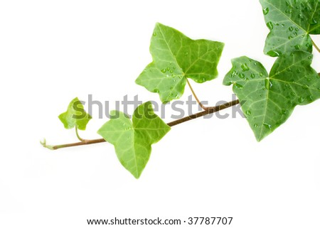An ivy plant against a white background.  Room for your text. - stock photo