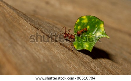 An leaf cutter ant is carrying a leaf - stock photo