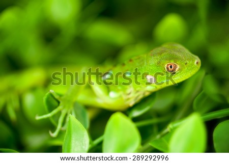 An macro shot of a baby Green Iguana surrounded by green foliage. Photographed with a shallow depth of field.