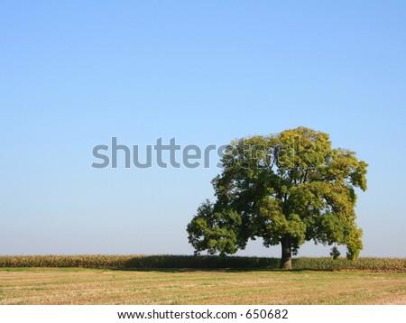 An oak tree in Summer - stock photo