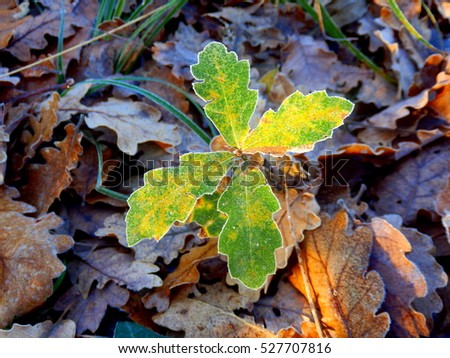 An oak tree sapling (Quercus robur) poking through the autumn leaves on a frosty morning