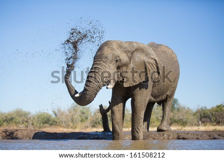 An old African elephant bull spraying itself with mud during a mud bath in Botswana - stock photo