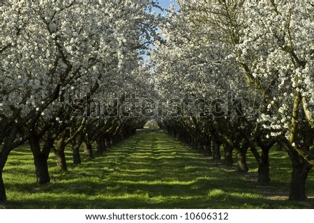 An old almond orchard in bloom. - stock photo