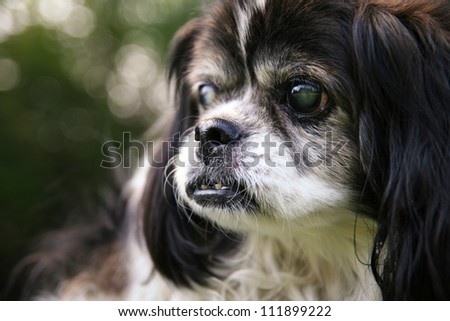 an old blind senior dog at a park - stock photo