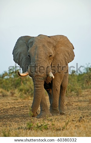 An old Elephant Bull at Sunset - stock photo