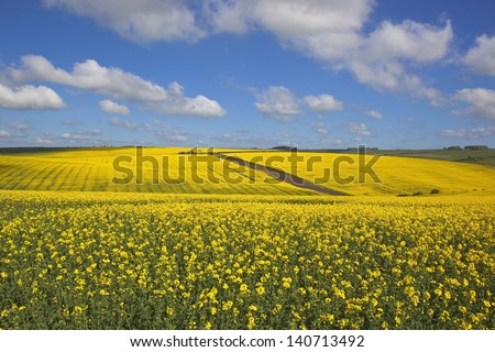 an old english farm surrounded by bright golden canola fields in springtime under a cloudy blue sky