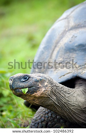 An old galapagos turtle eating