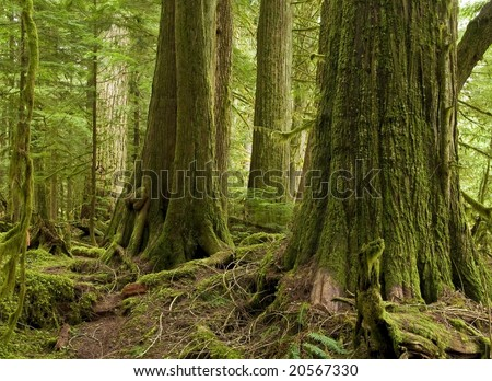 An old growth rainforest of Western Red Cedar remains protected witihn an ecological reserve in coastal southern BC, Canada - stock photo