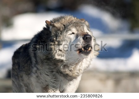 An old howling wolf male (Canis lupus) on cold air. Dangerous and severe shaggy beast of the northern forest. Wild beauty of the forest dog. - stock photo