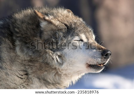 An old howling wolf male on cold air. Dangerous and severe shaggy beast of the northern forest. Wild beauty of the forest dog. - stock photo