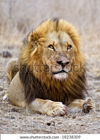 An old Lion full of battle scars - stock photo