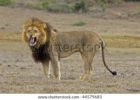 An Old Lion is angry and snarls - stock photo