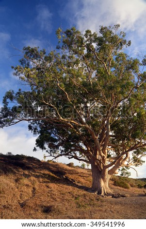 an old, lone eucalyptus tree in the late afternoon - stock photo