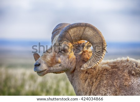 An old male bighorn sheep (ovis canadensis) with large curving horns stands in profile against the rolling prairie of the Badlands National Park in South Dakota.