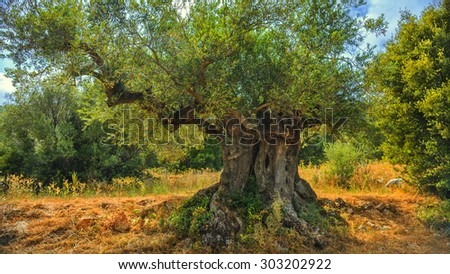 An old olive tree in Greece, Zakynthos.