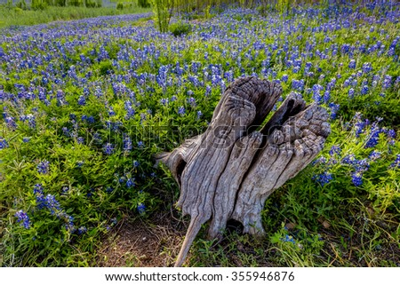 An Old Stump from a Dead Tree in a Beautiful Field or Meadow Blanketed with the Famous Texas Bluebonnet (Lupinus texensis) Wildflowers.  An Amazing Display at Muleshoe Bend in Texas. - stock photo