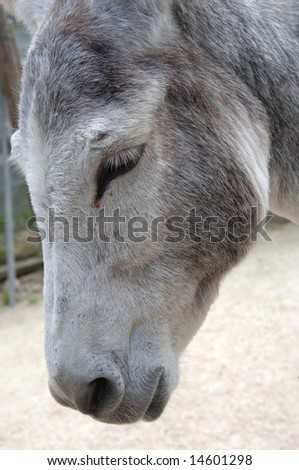 An old, tired donkey