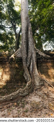 An old wall and a tree. Cambodia