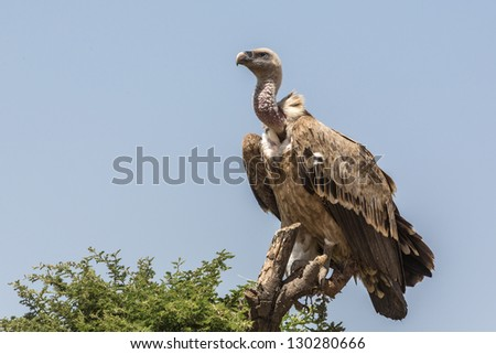 An old world vulture standing tall on a chopped tree top