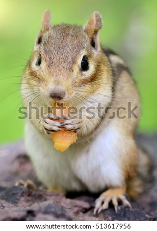 An older female chipmunk nibbling on a piece of fresh cantaloupe