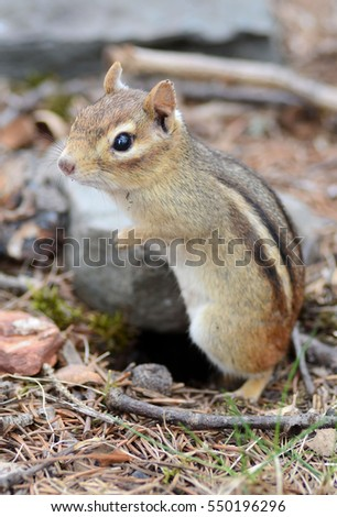 An older female chipmunk standing outside of her burrow
