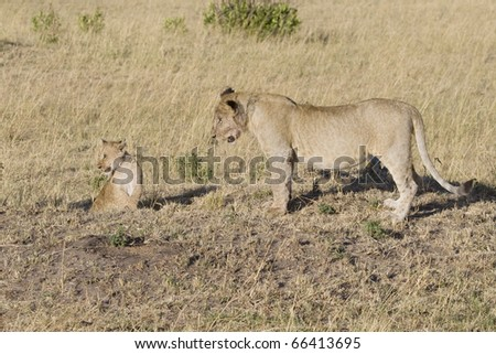 An older lion cub wants to play with the little one on the plains of the Masai Mara.