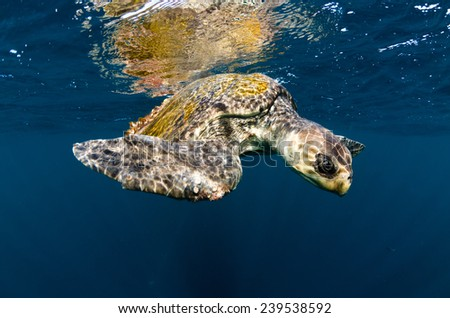 An olive ridley sea turtle swims in the Pacific ocean off Costa Rica's Corcovado peninsula - stock photo